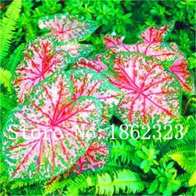 GEOPONICS SEEDS: Verkauf! 100 Stück Caladium Bonsai Caladium Blumen Bonsai Zimmerpflanzen Bonsai Colocasia Anlage für Hausgarten-Topfpflanze: 2