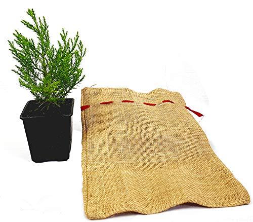 Seedeo® Berg - Mammutbaum (Sequoiadendron giganteum) Pflanze 2 Jahre alt Geschenkedition