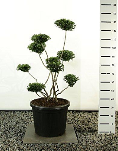 Formgehölz Japanische Stechpalme - Ilex Crenata Stokes - verschiedene Ausführungen (100-120cm - Topf Ø 36cm -20Ltr. - MULTIBALL)