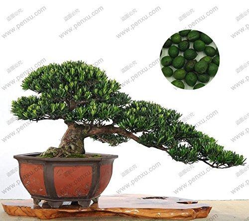 graines en vrac, il est facile à cultiver de beaux arbres, Podocarpus bonsaï graines d'arbres, 100% réel graines 5 pcs / sac