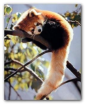 Best red panda sitting Reviews