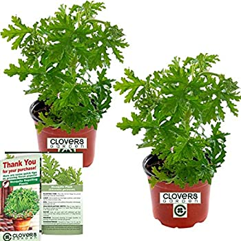 Amazon Com Clovers Garden 2 Large Citronella Mosquito Repellent Plants In 4 Inch Pots Citrosa Geranium Plant Naturally Repels Mosquitos No See Ums And Other Flying Insects Flowering Plants Garden Outdoor,Kid Beautiful Flower Pictures To Draw