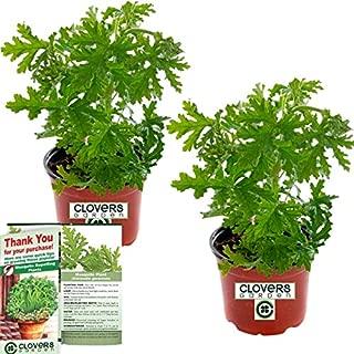 Best pot marigold plants sale Reviews