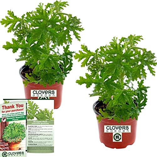 Clovers Garden 2 Large Citronella Mosquito Repellent Plants in 4-Inch Pots – Citrosa Geranium Plant Naturally Repels Mosquitos, No See Ums and Other Flying Insects