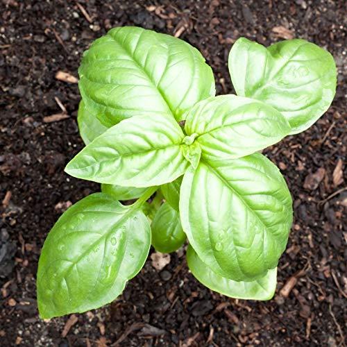 PLAT FIRM GRAINES DE GERMINATION: 10 000 graines: Sweet Basil Herb select 30 à 10 000 graines Fresh Heirloom Grand arôme séché Jardin