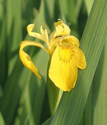 2er-Set - winterhart - Iris pseudacorus - Staude des Jahres 2016 - Wasserschwertlilie - Sumpfschwertlilie, gelb - Wasserpflanzen Wolff
