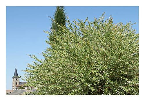 Die Kugelweide (Salix pupurea nana)