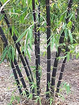 Elwyn 100 Clumping Bamboo Plant Seeds