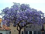 1000 Paulownia tomentosa Samen, Chinesischer Blauglockenbaum, blaublühender Baum