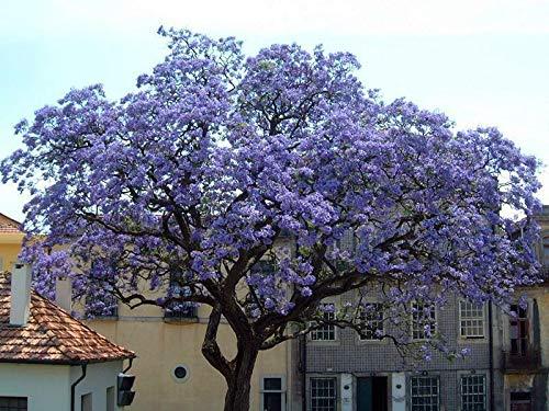 100 Paulownia tomentosa Samen, Chinesischer Blauglockenbaum, blaublühender Baum