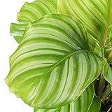 Zoom IMG-2 premium calathea pianta pavone per