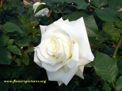 200pcs / sac rare multi-couleur rose graines rose graine plante bonsaïs rose balcon rare noir de graines de fleurs bonsaï pour le jardin de la maison en pot 4