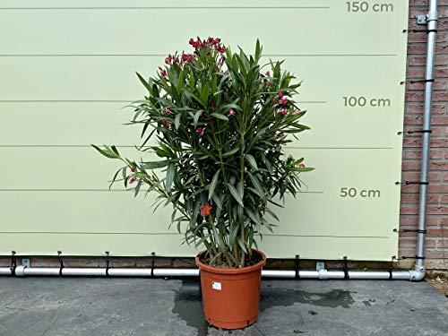 oleander kopen lidl