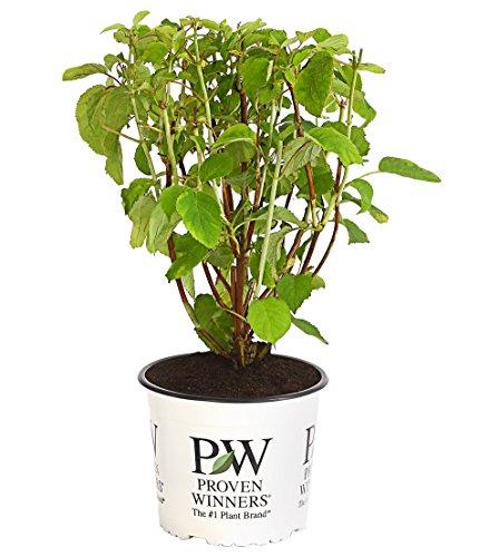 Dehner Schneeball-Hortensie Strong Annabelle®, creme-weiße Blütenbälle, ca. 40-50 cm, Zierstrauch