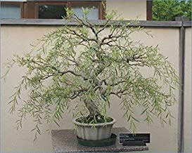 Bonsai Tree Dragon Willow - Thick Trunk Bonsai Cutting - Fast Growing Indoor/Outdoor Bonsai Tree - Ships Bare Root - Old Mature Look Fast