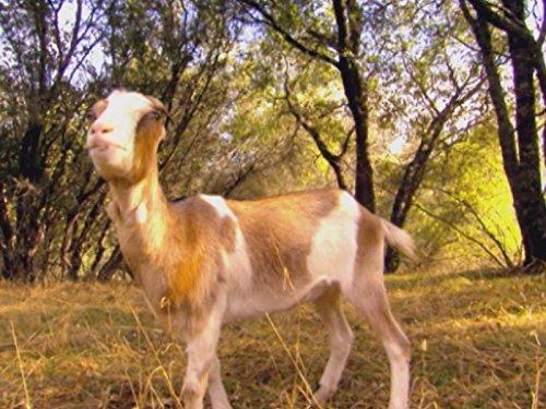 Telsha Pack Goat