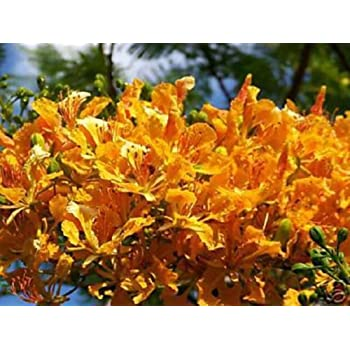 Amazon Com Yellow Flamboyan Royal Poinciana Delonix Regia 10 Seeds Garden Outdoor