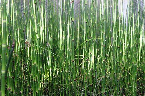 4er-Set im Gratis-Pflanzkorb - Equisetum japonicum - Japanischer Schachtelhalm - Zinnkraut - Wasserpflanzen Wolff