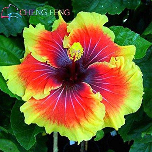 En soldes! Mix Couleur de Graines 100pcs Hibiscus rosa-sinensis Belle Graines de fleurs vivaces à fleurs Plantes Arbre en pot Jardin