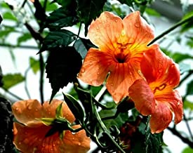 100 Seeds Campsis Grandiflor Chinese Trumpet Vine Fast Growing Deciduous Creeper Climbing Plant Garden Flowers Red Orange Yellow S008