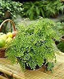 Adiantum raddianum Maidenhair Fern - Decorative Indoor House Plant In 12cm Pot