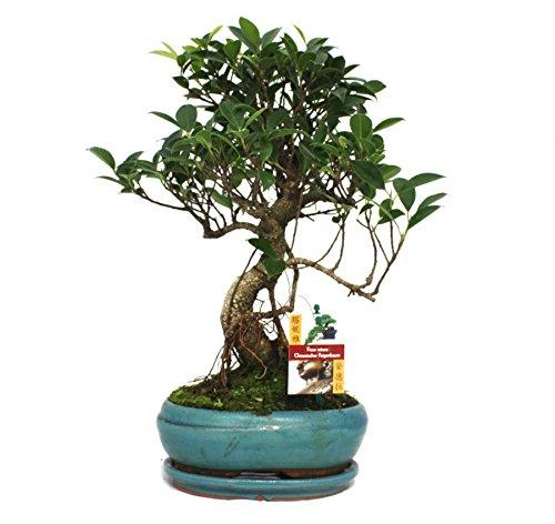 exotenherz - Bonsai Chinesischer Feigenbaum - Ficus retusa - ca. 8 Jahre