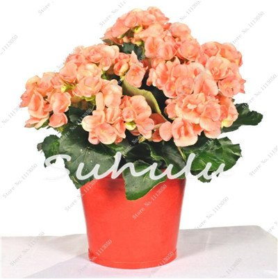 100 Pcs Bonsai Graines Begonia hybrida Voss Fleurs lanternes Begonia Malus Spectabilis Fleurs décoratives Bonsai Chinese Garden 8