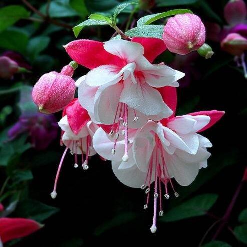 lanternes Fuchsia / fleurs / graines de fleurs balcon intérieur salon / Begonia de Bell pot graines de fleurs 100 graines 10