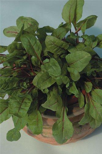 Suffolk herbes g?n?rations Lot???Feuilles de salade???Rhubarbe Chard Rouge 60?graines