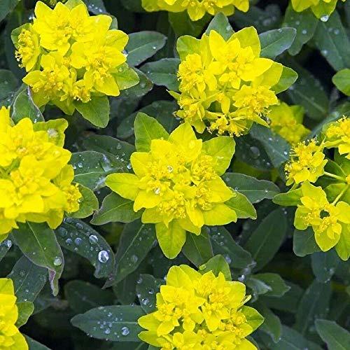 15S-e-e-ds Euphorbia polychroma