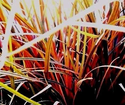 Portal Cool Orange Haken Schilfrohr Red Uncinia Egmontiana Neuseeland Tussock Perennial 10 Samen