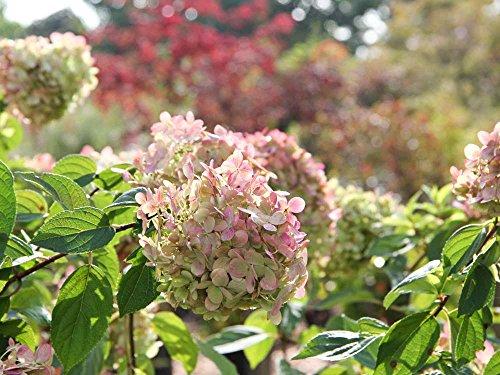 Rispenhortensie Limelight - weiß & rosa Blüte - Hydrangea paniculata Limelight - Containerware 60-80 cm - Garten von Ehren®