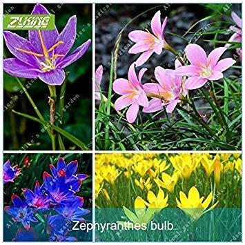 Potseed Germination Les graines: 11: 2 Pcs Couleurs rares Zephyranthes bulbes Rhizome Plantes (Pas de graines)