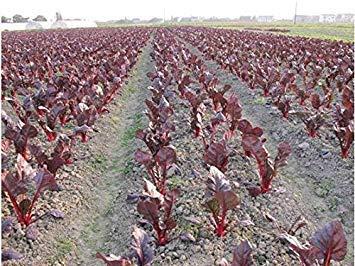 VISA STORE 200 PC heiße Se Luftreinigung Sorten Samen Grüne Gemüsesamen Bcony Topf Pfeffer tic Samen Samen