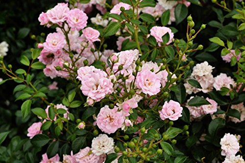 Bodendeckerrose Rosa The Fairy, Wurzelware Qualität A - floranza®