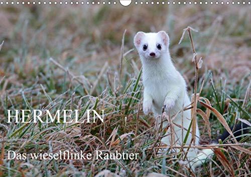 Hermelin - das wieselflinke Raubtier (Wandkalender 2021 DIN A3 quer)