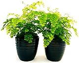 CAPELVENERE, 2 PIANTE VASO 13CM, piante vere