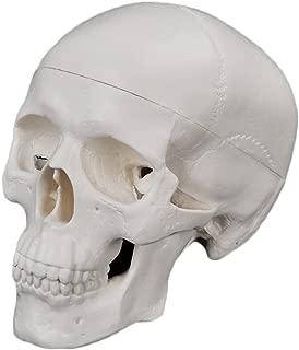 JUNKE Human Skull Model – PVC Mini Medical Head Bone Model Ornament, 9×10×7cm, 3 Part