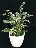 ficus benjamin variegato vaso 11, in ceramica bianco righe, pianta vera