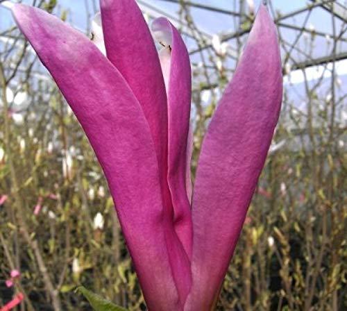 Magnolia liliiflora Susan - Purpur...
