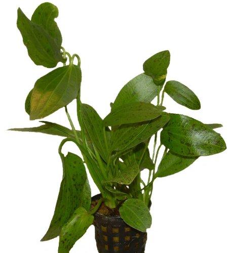 Aquariumpflanzen Echinodorus Ozelot Grün, Wasserpflanzen