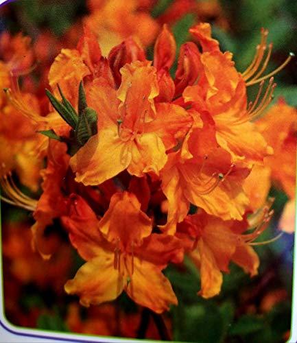 AZALEA MOLLIS ARANCIO, AZALEA DA ESTERNO, vaso 17cm pianta vera