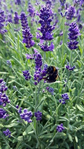 Lavendel (Lavandula angustifolia) in verschiedenen Varianten (12 Stück in Set)
