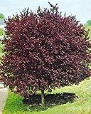 La quantità del pacchetto è 6369 Vendiamo solo semi Semi ad alto tasso di germinazione La restituzione della merce non è disponibile 10 Semi Cherry Plum - Mirabolano albero