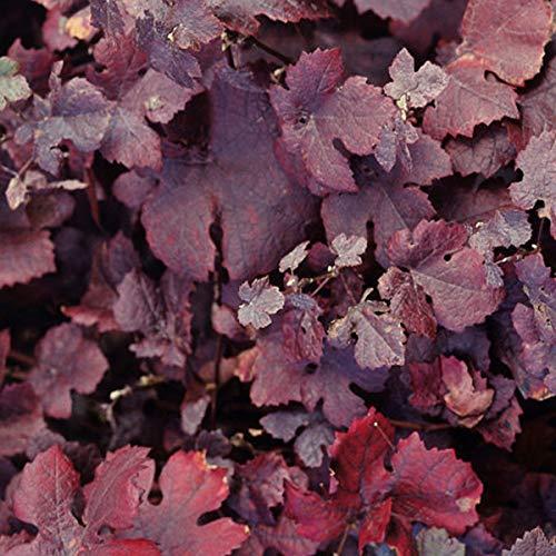 Vitis Vinifera 'Purpurea'- Vigne des teinturiers 60-80 cm en conteneur