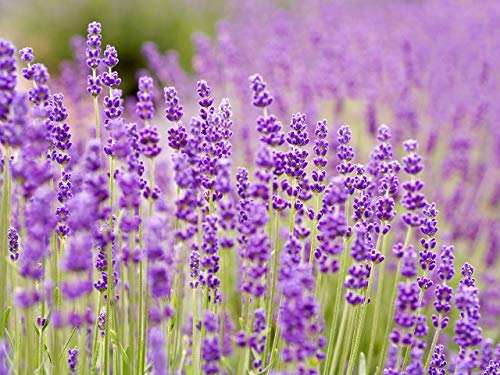 Lavender Seeds for Planting 100mg, Non-GMO, American Seeds, Heirloom, Lavandula