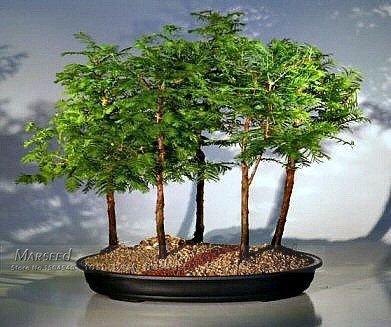 50 PC-Dämmerung Redwood Forest Bonsai Samen - Bonsai-Baum - Metasequoia glyptostroboides - Wachsen Sie Ihre eigene Bonsai-Baum