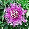 5pcs Passiflore (Passiflora incarnata), plantes Passion fruits exotiques Graines grenadille pour le jardin à la maison 4 #3