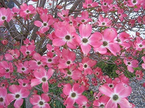 "PAPCOOL Pink Dogwood Tree- 2 Year Old, 10-18"" Tall -Gorgeous Rose Pink Flowers Plant. Note: Don't Ship to CA"