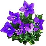 Blaue Platycodon-Samen 50+ Ballonblume Blaue Platycodon Grandiflorus-Pflanze Mehrjährige Grandiflorus-Blumensamen für Haus und Garten